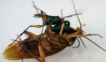 灭蟑螂最有效的方法——清波公司