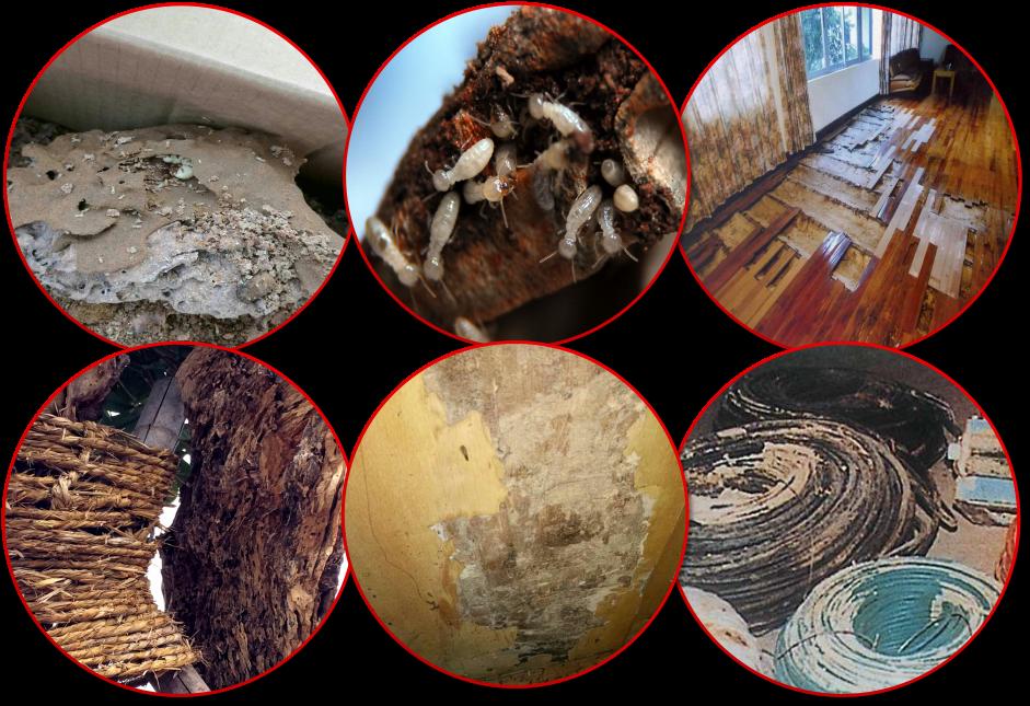 白蚁是一种危害性很大的昆虫,这些危害主要表现在以下几个方面 -灭图片