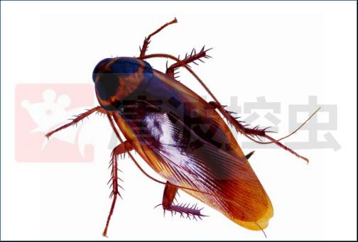 专业灭蟑螂公司,有效灭蟑螂的方法,蟑螂防治,清波灭蟑螂