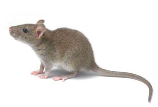 鼠害与虫害治理,清波灭鼠控虫公司,学校幼儿园杀虫灭鼠方案,防鼠灭鼠抓老鼠,防蚊灭蝇捕蚊蝇,防治蟑螂灭蟑螂杀蟑螂
